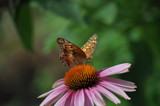 in the garden by fivepatch, photography->butterflies gallery