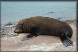 Fur Seal by LynEve, photography->animals gallery