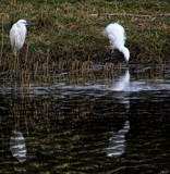 The Little Egret #4 by tigger3, photography->manipulation gallery