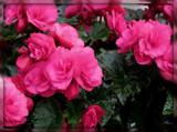 Rainy Day Begonias by trixxie17, photography->flowers gallery