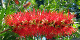 Consider the lowly bottlebrush by slow_2gojoe, Photography->Flowers gallery