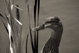 Portrait of a Duck by Eubeen, contests->b/w challenge gallery
