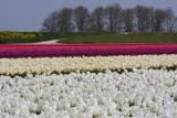 Tulips - IIII by Paul_Gerritsen, Photography->Flowers gallery