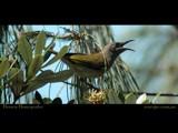 Brown Honeyeater by Samatar, Photography->Birds gallery