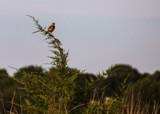 Meadowlark on Cedar by Pistos, photography->birds gallery