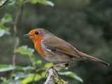 Robin by Si, Photography->Birds gallery