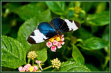 Butterfly 06 of 12 by corngrowth, Photography->Butterflies gallery