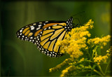 Viceroy/Monarch Pick Your Poison by phasmid, Photography->Butterflies gallery