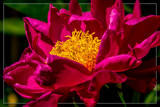 Framed Peony 1 by corngrowth, photography->flowers gallery