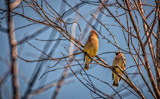 Cedar Waxwings by Eubeen, photography->birds gallery