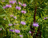 Bee Balm and Indian Prairie Grass by trixxie17, photography->flowers gallery