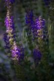 Veronica in the Setting Sun by Pistos, photography->flowers gallery