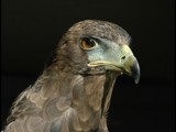 Raptor by burnzdog, Photography->Birds gallery