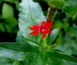Pretty Little Red by japanesebanana32, Photography->Flowers gallery