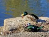 Double Decker Duckies by kidder, Photography->Birds gallery