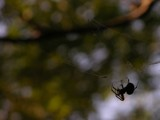 Spider Silhouette by puscrunions, photography->insects/spiders gallery