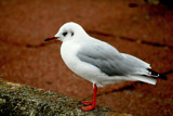 Profile Of A Seagull by braces, Photography->Birds gallery