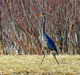 Hokey Pokey Heron by Jimbobedsel, photography->birds gallery
