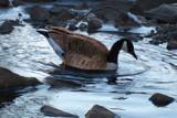 Goose by Kevin_Hayden, Photography->Birds gallery