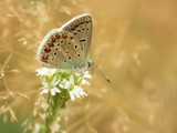 Grasslands by ekowalska, photography->butterflies gallery
