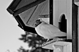 Pigeon at Home by Ramad, contests->b/w challenge gallery
