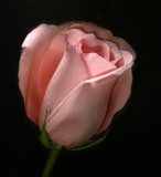 Pink Rose by ccmerino, Photography->Flowers gallery