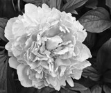 Pretty Peony Smiling At You - Take 2 by icedancer, contests->b/w challenge gallery