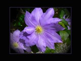 Purple Clematis by LynEve, Photography->Flowers gallery