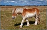 Zeeland Wild Horses 11, Roaming Around by corngrowth, photography->animals gallery