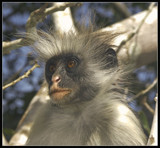 Colubus monkey 2 by michaeloneill, Photography->Animals gallery