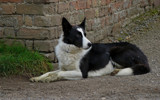 Border Collies never rest by gonedigital, Photography->Animals gallery