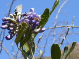 Mountain Laurel by softie, Photography->Flowers gallery