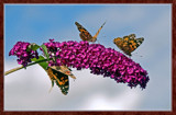 From My Wife's Garden, Three Of A Kind by corngrowth, Photography->Butterflies gallery