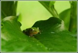 Wee Froggy by MsCROW, photography->reptiles/amphibians gallery