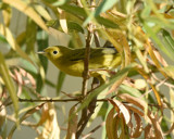 Female Yellow Warbler by garrettparkinson, photography->birds gallery