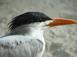 One good Tern deserves another... by spoton, Photography->Birds gallery