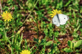 Mostly White Butterfly by Eubeen, photography->butterflies gallery