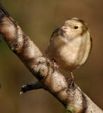 Female Chaffinch.... by biffobear, photography->birds gallery