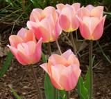 Pink Glow by trixxie17, Photography->Flowers gallery