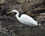 Great Egret by garrettparkinson, photography->birds gallery