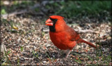 The Male Cardinal by tigger3, photography->birds gallery