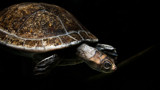 Swimming Turtle by zunazet, photography->reptiles/amphibians gallery