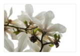 magnolias by JQ, Photography->Flowers gallery
