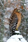 Red Shouldered Hawk by ted3020, photography->birds gallery