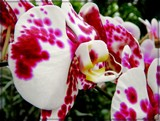 Dalmation Orchid by trixxie17, photography->flowers gallery