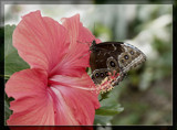 Butterfly Sixteen by Jimbobedsel, Photography->Butterflies gallery