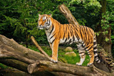 Amur Tiger by Ramad, photography->animals gallery