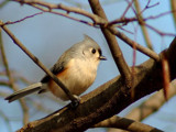Tufted Titmouse 3 by gerryp, Photography->Birds gallery