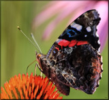 Garden Ornamentals by tigger3, photography->butterflies gallery
