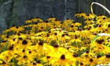 A sea of Susans! by BossCamper, photography->flowers gallery